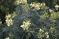 Acacia mimosa - Madeira - IMG 0306.jpg