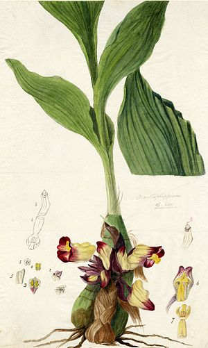 Anna Maria Walker - Watercolour by Anna Maria Walker of Acanthephippium bicolor