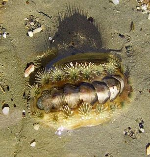 <i>Acanthochitona zelandica</i>