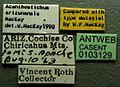 Acanthostichus arizonensis casent0103129 label 1.jpg