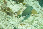 Acanthurus bahianus - ocean surgeon - Bay of Pigs - Cuba.jpg