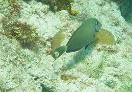 Acanthurus bahianus - ocean surgeon - Bay of Pigs - Cuba.jpg