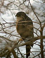 Accipiter striatus Colorado.jpg