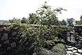 Acer palmatum Hogyoku 3zz.jpg