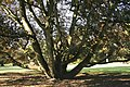 Acer pseudoplatanus 'Atropurpureum' JPG1b.jpg