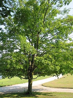 Zucker-Ahorn (Acer saccharum)