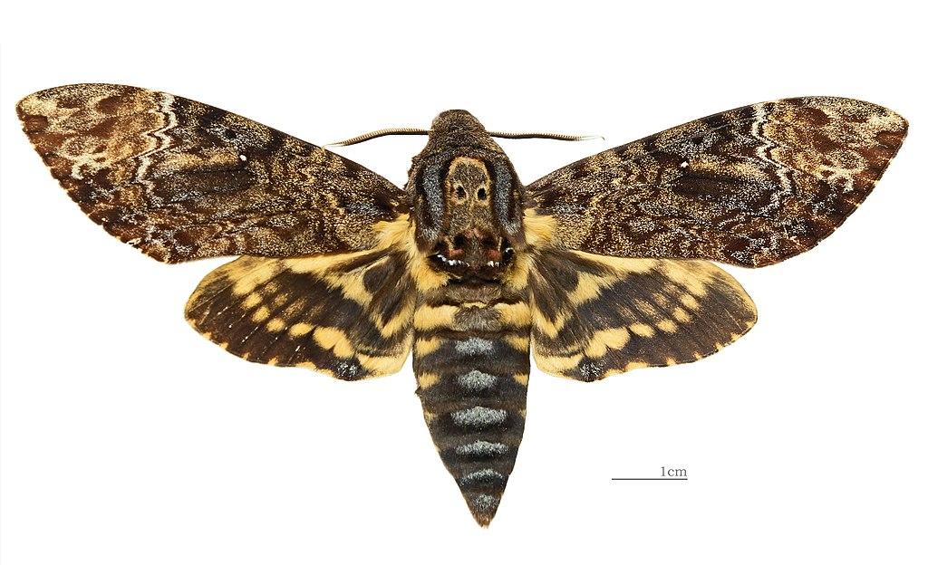 Acherontia lachesis MHNT Female Nîlgîri (Tamil Nadu) Dorsal.jpg