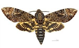 Death's-head hawkmoth - Acherontia lachesis