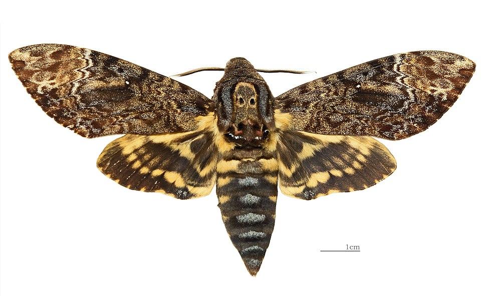 Acherontia lachesis MHNT Female Nîlgîri (Tamil Nadu) Dorsal