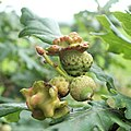 Acorn knopper galls on oak - geograph.org.uk - 938783.jpg