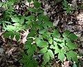 Actaea spicata fruit (12).jpg
