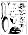 Adanson 1763 baobab planche 2.png
