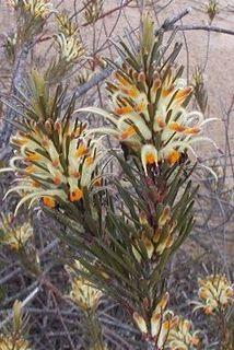 <i>Adenanthos detmoldii</i> species of plant