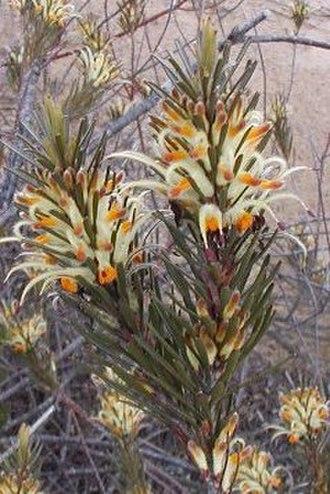 Adenanthos detmoldii - Image: Adenanthos detmoldii Cranbourne email