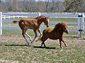 Adult miniature horse with regular-sized foal.jpg