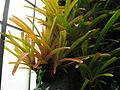 Aechmea blanchetiana 1.jpg