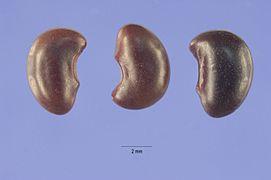 Aeschnyomene virginica seeds.jpg