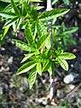 Aesculus californica-4.jpg