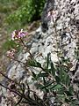 Aethionema saxatile (s. str.) sl11.jpg