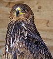 African Tawny Eagle (6022440862).jpg