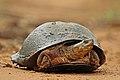 African helmeted turtle (Pelomedusa subrufa).jpg