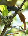 African paradise flycatchers, Terpsiphone viridis, nesting at at Walter Sisulu National Botanical Garden, December 1, 2014 (15941001431).jpg