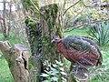 Afropavo congensis -Safaripark Beekse Bergen -female-8a.jpg