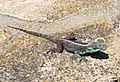 Agama atra - Southern Rock Agama - Cape Town - South Africa 2.JPG