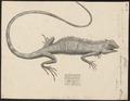 Agama ophiomachus - 1700-1880 - Print - Iconographia Zoologica - Special Collections University of Amsterdam - UBA01 IZ12800071.tif
