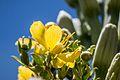 Agave lecheguilla flower.jpg
