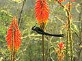 Aglaiocercus kingi (Silfo coliverde) (14329383831).jpg