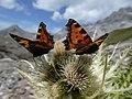 Aglais urticae above Lai Grond, Surses, Switzerland 1.jpg