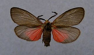 <i>Aglaope infausta</i> Species of moth