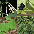 Alangium platanifolium var. trilobatum (Montage).jpg
