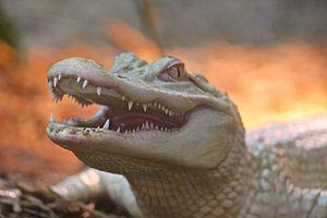 Tulsa Zoo - Albino alligator in the Wild LIFE Trek