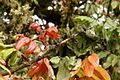 Alfaroa costaricensis Costa Rica.jpg