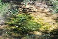 Algae on Green Creek.JPG