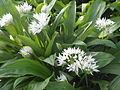 AlliumUrsinum RH (3).jpg