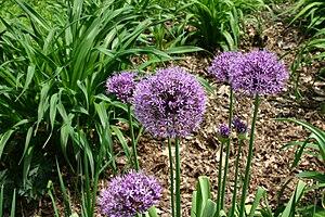 Allium aflatunense - Image: Allium aflatunense 5801