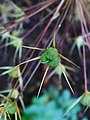 Allium cristophii 004.JPG