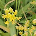 Allium moly-IMG 4333.jpg