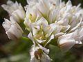 Allium textile (3619878886).jpg