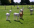 Alpaca at Little Durnford Manor - geograph.org.uk - 511824.jpg