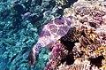 Aluterus scriptus - Расписной алутер - Scrawled filefish.DSCF2963BE.jpg