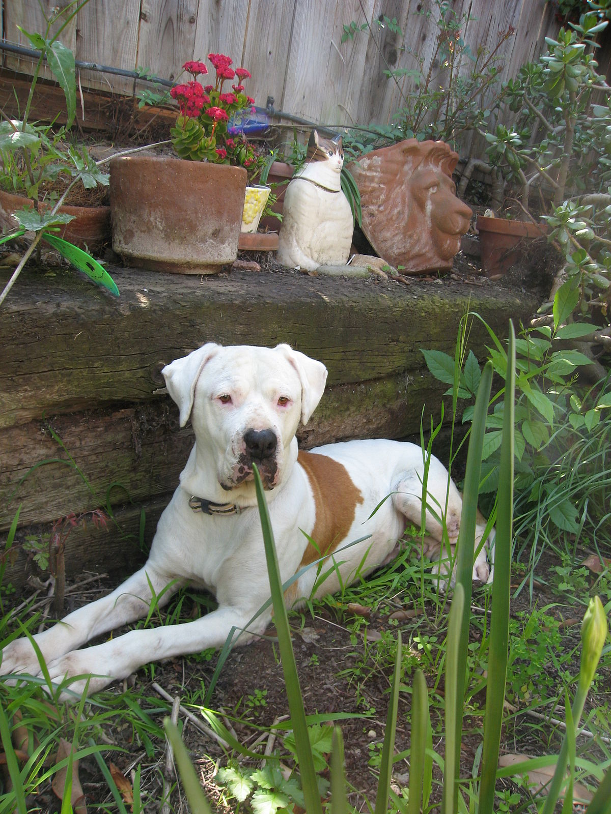 American Bull Dog Pet Rescues In Indiana