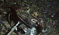 American lobster, Homarus americanus in Newfoundland, Canada (21173851982).jpg