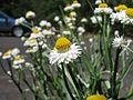 Ammobium alatum head5 NT - Flickr - Macleay Grass Man.jpg