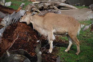 Barbary Sheep (Ammotragus lervia) scratching a...