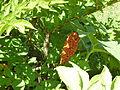 Amorphophallus konjac (fruit) 04.JPG