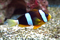 Amphiprion Clarkii 1